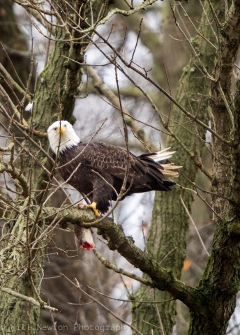 A Bald Eagle feasts on a fish, while perched high in a tree near Conowingo Dam, MD. Nov. 2017