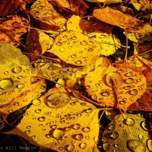 Fallen Aspen leaves after a rainfall. Breckenridge, CO. Summer 2016.