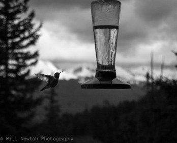 A Hummingbird seen on approach to its feeder in Breckenridge, CO. Summer, 2017