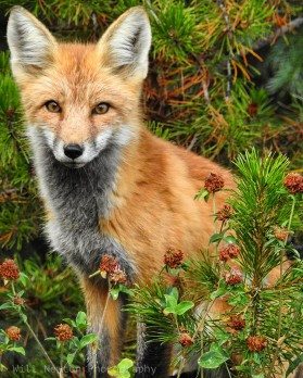 A red fox sits still and watches as I photograph from the safety of my back porch. May, 2017.