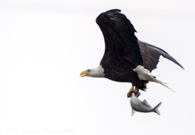 A Bald Eagle carries a freshly caught fish at Conowingo Dam, MD. November, 2017