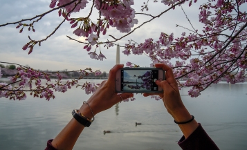 A Cherry Blossom Festival goer photographs the blossoms with the Washington Monument in the background in Washington, D.C on April 3rd, 2018. (Photo by Will Newton)