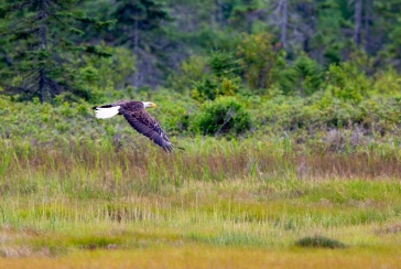 ACADIA NATIONAL PARK, ME - JULY 27: An American bald eagle flies near Acadia National Park, ME on July 27, 2020. (Photo by Will Newton/Friends of Acadia)