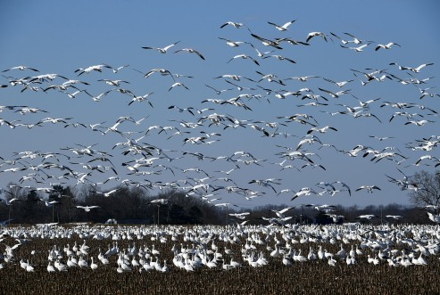 EASTON, MD - FEBRUARY 5: Snow geese fly over a field off of U.S Route 50 outside of Easton, MD on February 5, 2021. (Photo by Will Newton for The Washington Post)